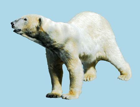 Isolated polar bear photo