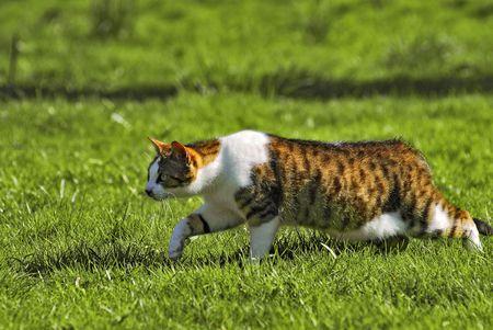 prowling: Cat walking Stock Photo