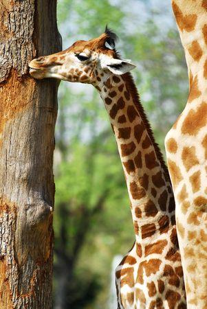 an ungulate: Giovani giraffa