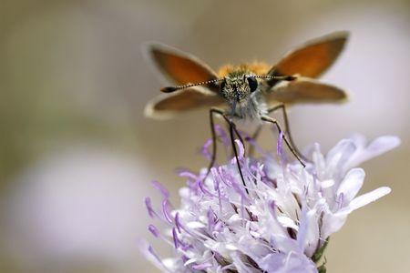 skipper: Skipper butterfly on flower