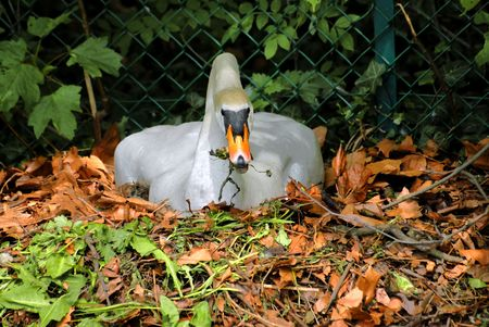 web footed: Swan on its nest