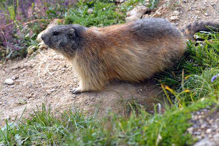 burrow: marmot close to its burrow