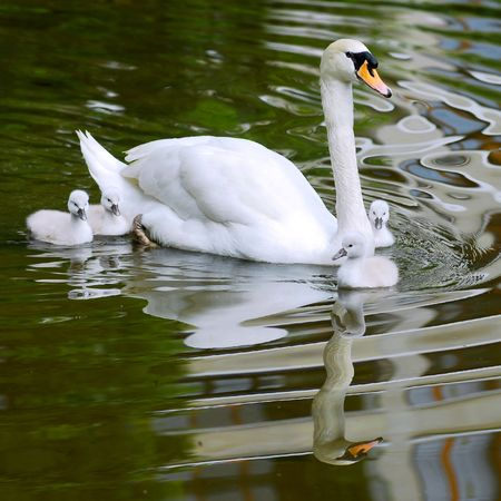 Swan with nestlings