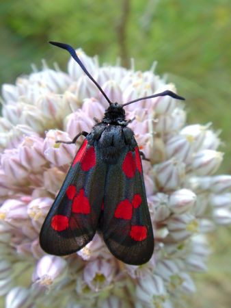 zygaena: Zygaena butterfly on flower                                Stock Photo