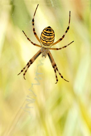 argiope: Argiope on its web