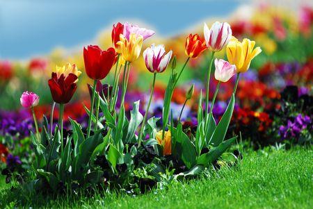 Tulipanes coloridos Foto de archivo - 2037076