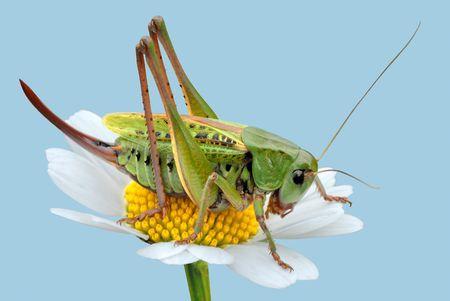 grasshopper on a daisy photo