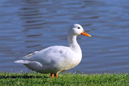 web footed: White duck