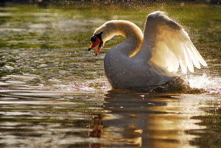 bird web footed: Swan on water
