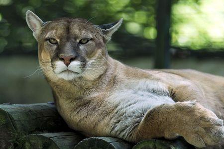 Portrait de cougar Banque d'images - 2097053