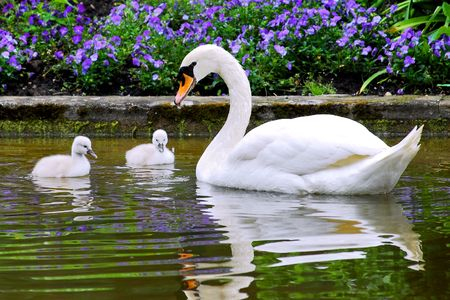 bird web footed: Swan and young
