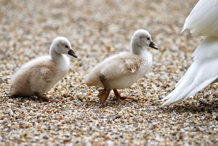 bird web footed: Cygnets in indian file Stock Photo