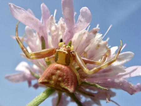 flower crab spider: crab spider on a flower                                Stock Photo