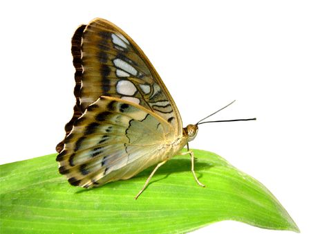 malaya: Isolated Butterfly on leaf                                Stock Photo