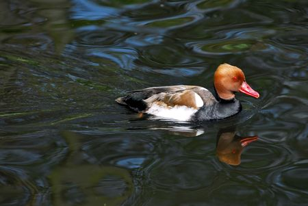 bird web footed: duck on water Stock Photo