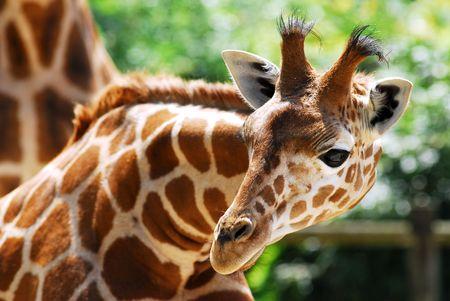 head of giraffe Фото со стока
