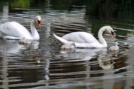 bird web footed: Swan with nestlings