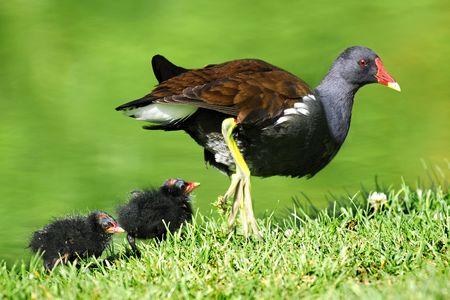 moorhen: Common Moorhen and chicks