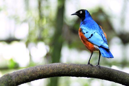 superb: Superb starling on branch