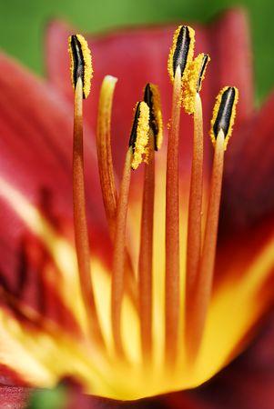 stami: Stami-giorni di giglio fiore