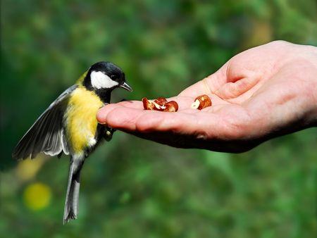 Tit manger dans la main de noisette Banque d'images - 2301167