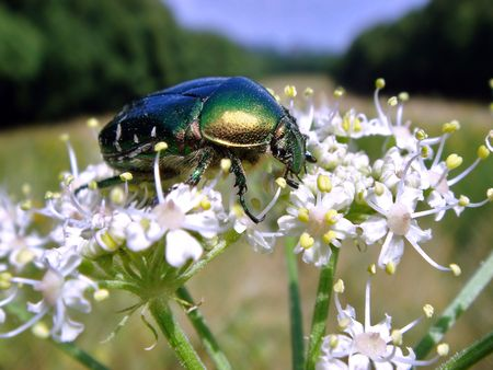 Rose chafer on white flower                                photo