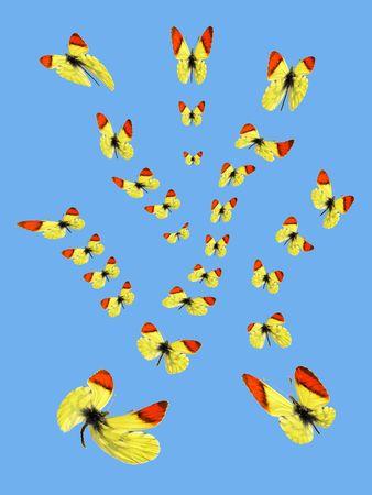 anthocharis: Takeoff butterflies