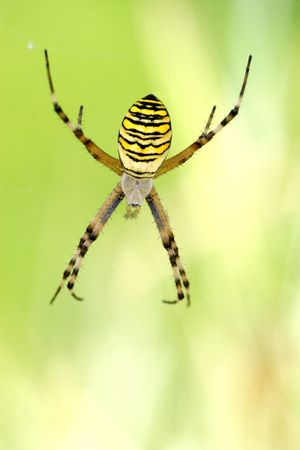 argiope: Argiope spider