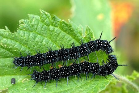 inachis: Black caterpillars Stock Photo
