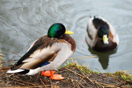 bird web footed: Mallard male duck Stock Photo