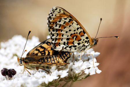 copulate: Mating Spotted Fritillary butterfly