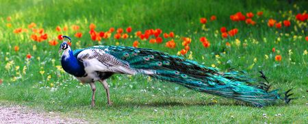 peafowl: Male Indian Peafowl Stock Photo