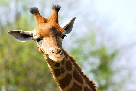 ruminants: portrait of giraffe Stock Photo