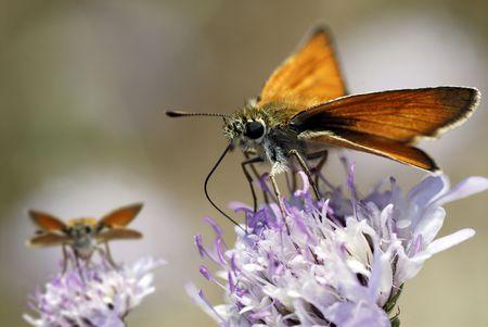 skipper: Skipper butterfly eating