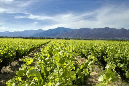 roussillon: Vineyard in Roussillon France