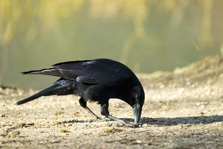 Corneja negra Foto de archivo - 3249361