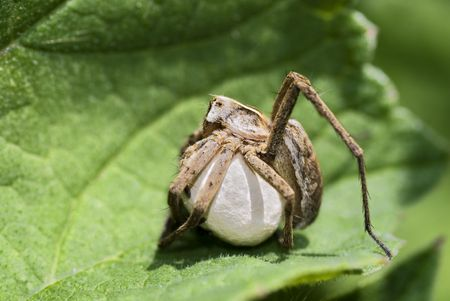 Spider protecting its cocoon photo