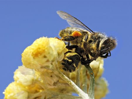 crab spider eating bee Stock Photo - 3733591