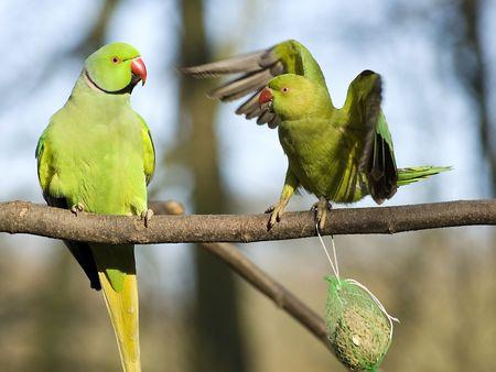 Rose-ringed Parakeet photo