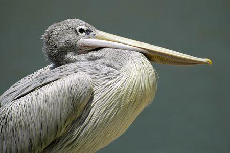palmate: Portrait of pelican