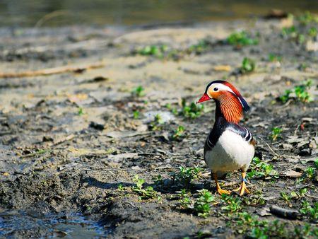 palmate: Mandarin duck