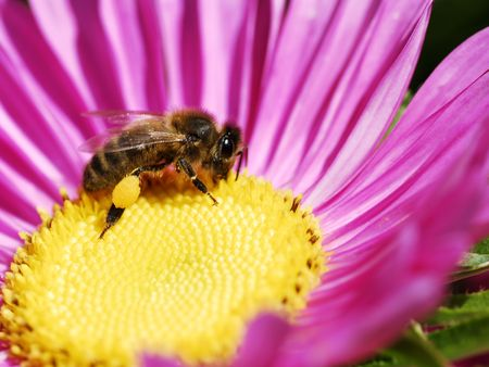 pollination: honey bee and pollination Stock Photo