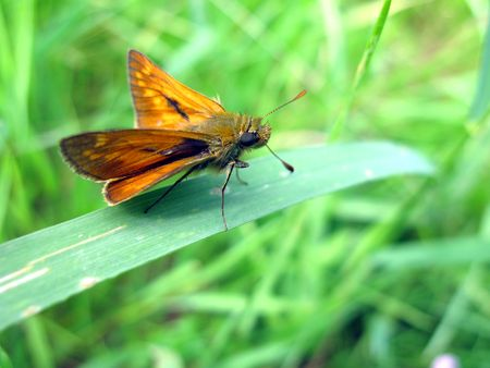 ochlodes: Large skipper butterfly on leaf Stock Photo