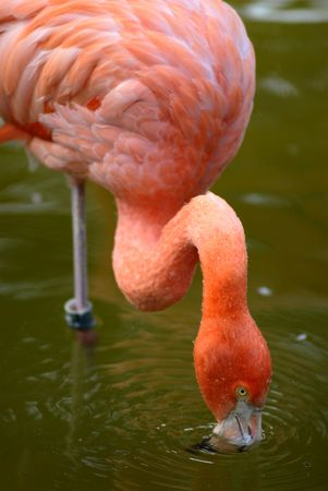 carribean: Carribean flamingo in water