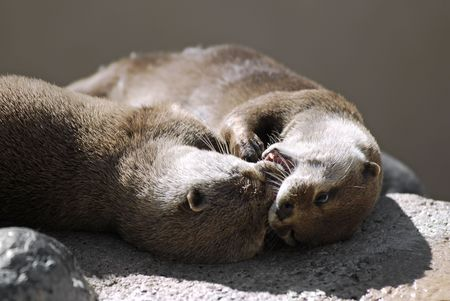 aonyx: Oriental Small-clawed Otter (Aonyx cinerea) playing