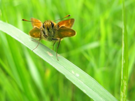 ochlodes: Large skipper butterfly on grass Stock Photo