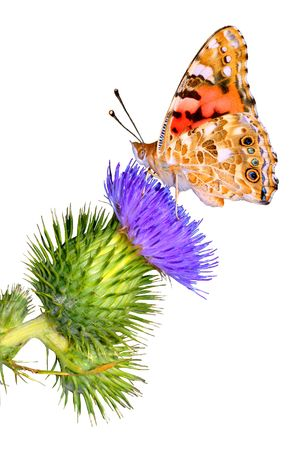 Isolated Painted Lady on thistle Imagens