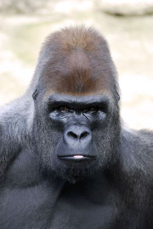 nostril: Portrait of gorilla