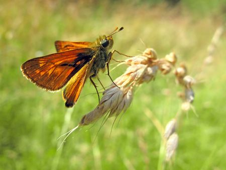 ochlodes: Large skipper butterfly on grass Stock Photo