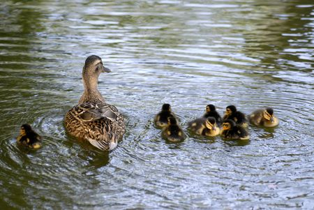 palmate: Duck and duckling Stock Photo